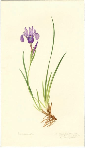Iris macrosiphon by Margaret Stones, Occidental, California, April 7, 1987.