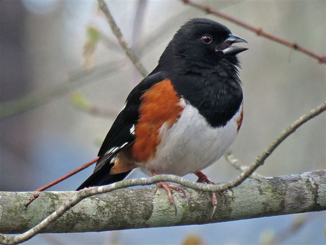 Picture of Rufous sided Towhee