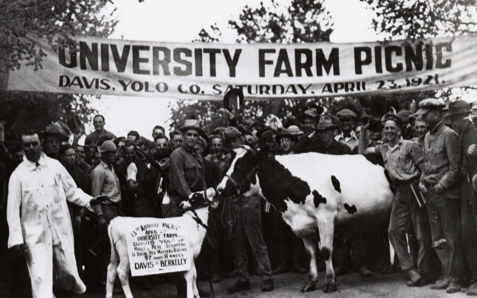Picnic Day in 1921 when Pete, Molly the cow's son, attempted to break his mother's record of 97 hours and 11 minutes walk from Berkeley to Davis. (Special Collections/UC Davis Library)